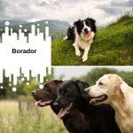 Cruce de Border Collie Labrador – El Borador