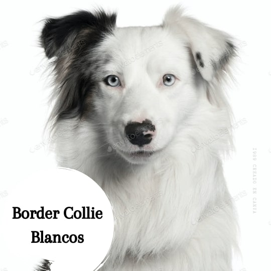 Border Collie blanco ojos azules