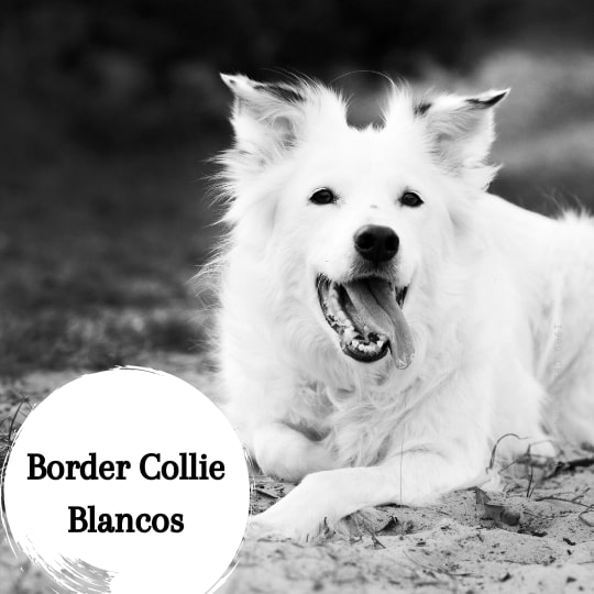 Border Collie blancos