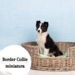 Border Collie miniatura: Todo sobre esta raza