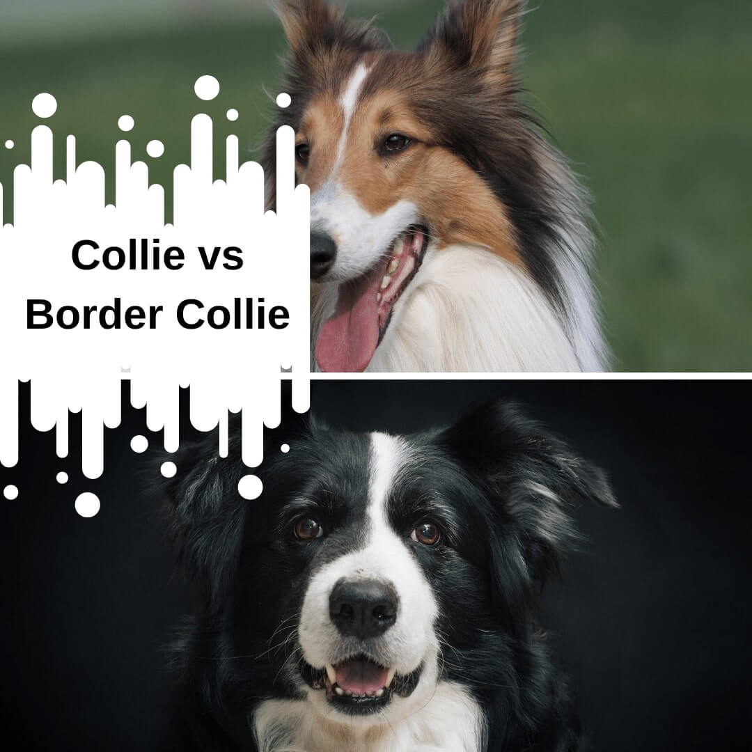 Collie vs Border Collie