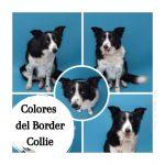 Colores y marcas del Border Collie.