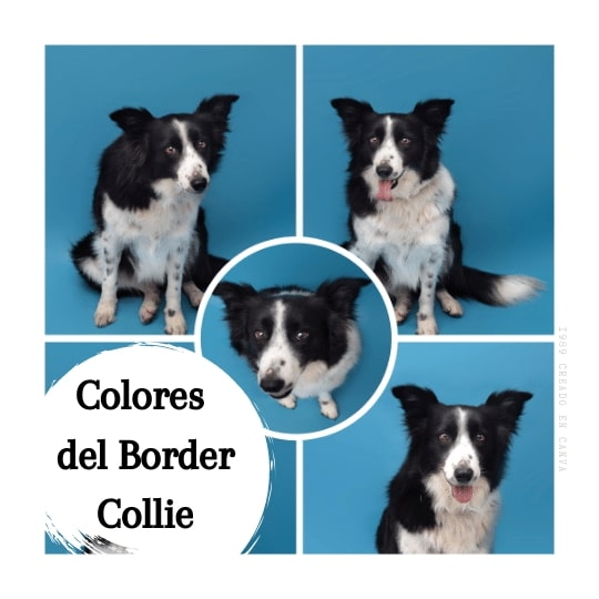 Colores Border Collie