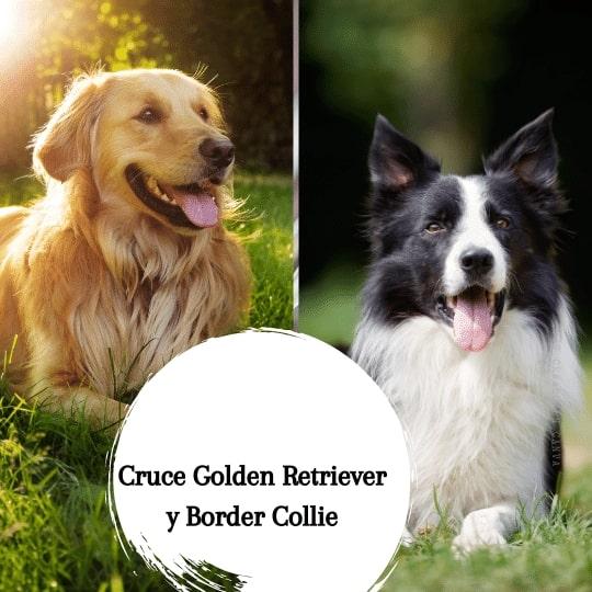 Cruce Golden Retriever y Border Collie