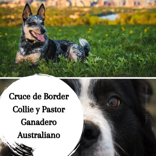 Cruce de Border Collie y Pastor Ganadero Australiano