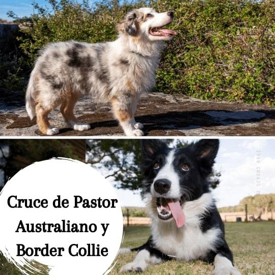 Cruce de Pastor Australiano y Border Collie