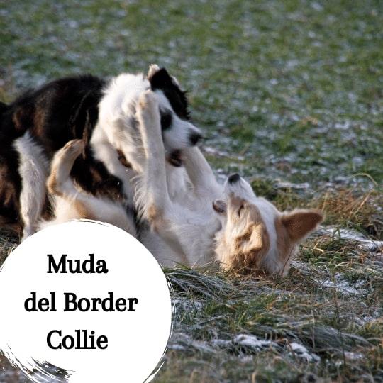 los border collie pierden mucho pelo