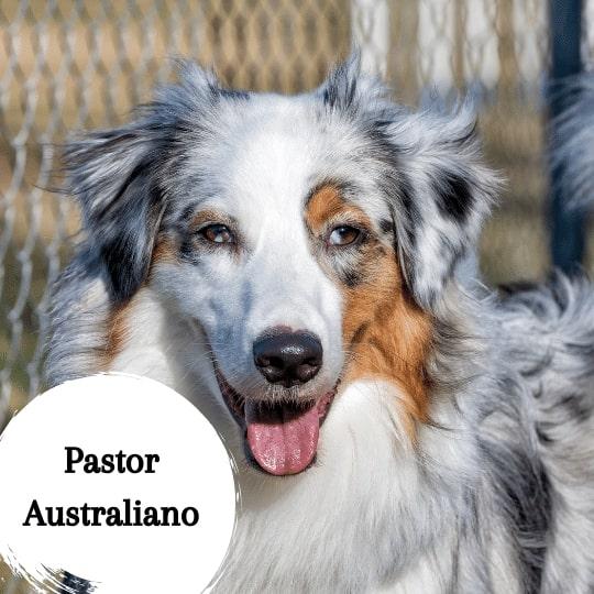 Pastor Australiano