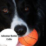 Guía de adiestramiento para los cachorros de Border Collie