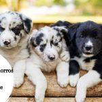 Encuentra los mejores cachorros de Border Collie en venta cerca de ti