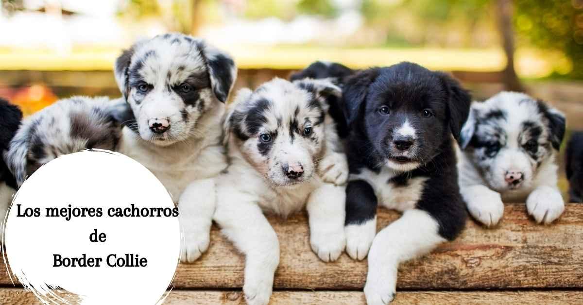Encuentra los mejores cachorros de Border Collie